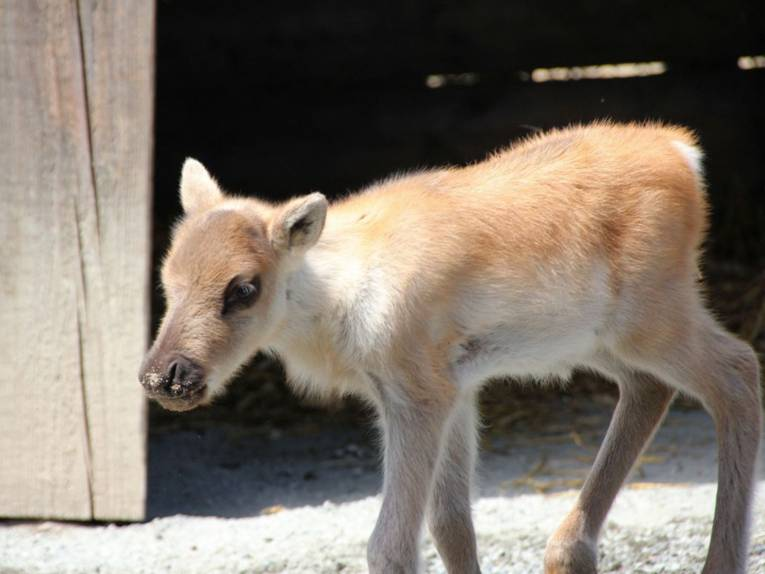 Ein kleiner, heller Karibu-Hirsch.