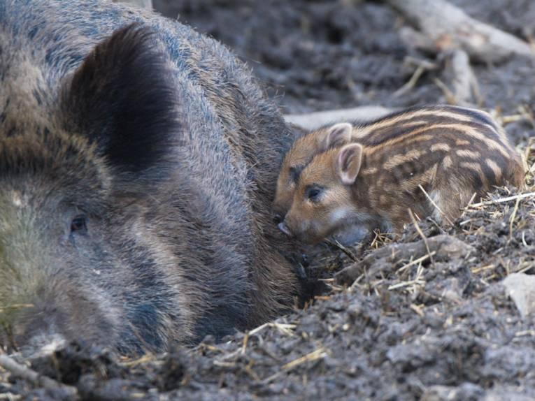 Zwei Frischlinge und das Muttertier