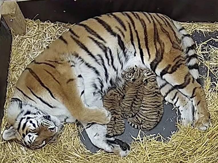 Eine Tigerdame mit ihrem Nachwuchs