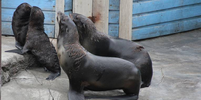 Zwei Seebärenjunge und zwei Seebärenweibchen