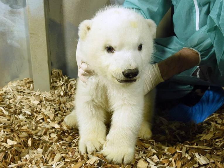 Eisbärjunges