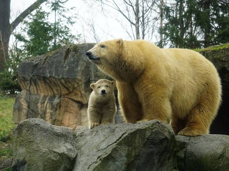Eisbär-Baby im Gelände