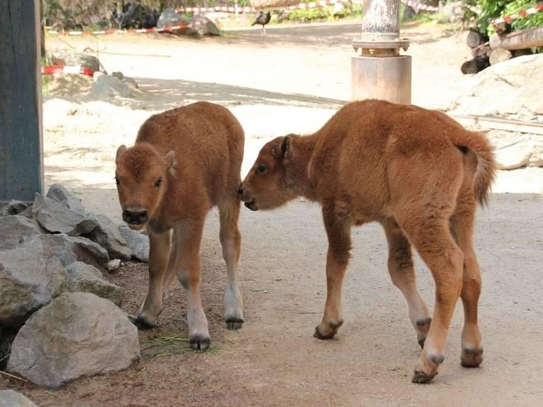 Zwei Bison-Babies
