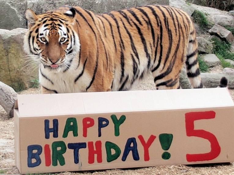 Tiger mit Geschenkbox