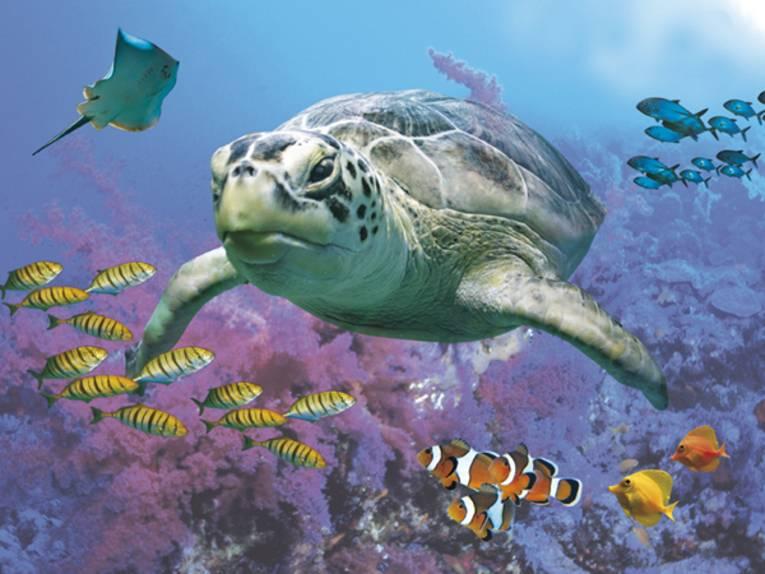 Eine Schildkröte schwimmt im Wasser.