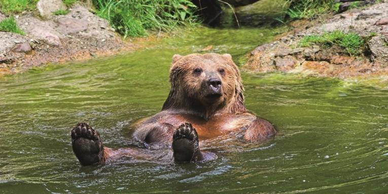 Ein Bär im Wasser