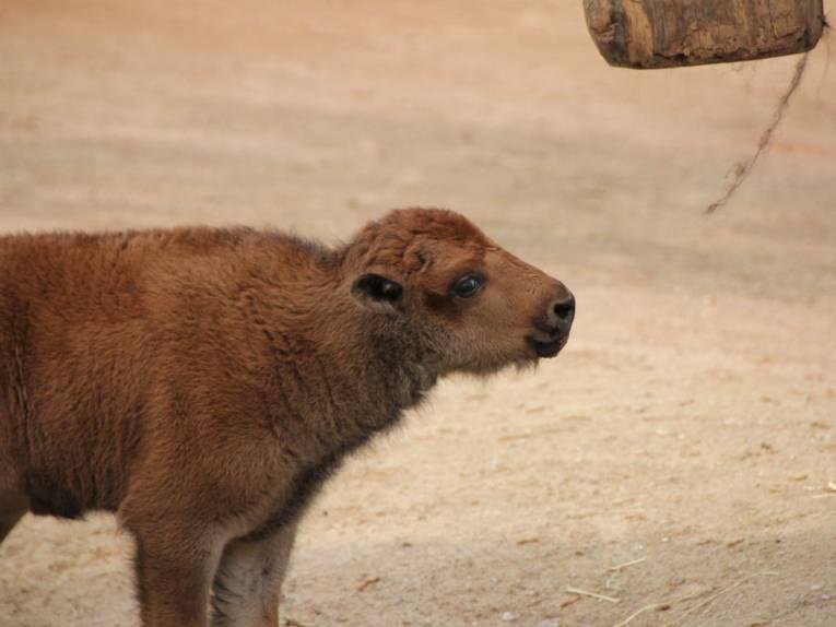 Ein junges Bison.
