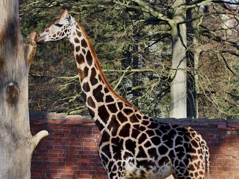 Eine Giraffe.