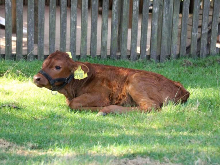 Eine kleine Kuh mit rötlichem Fell.