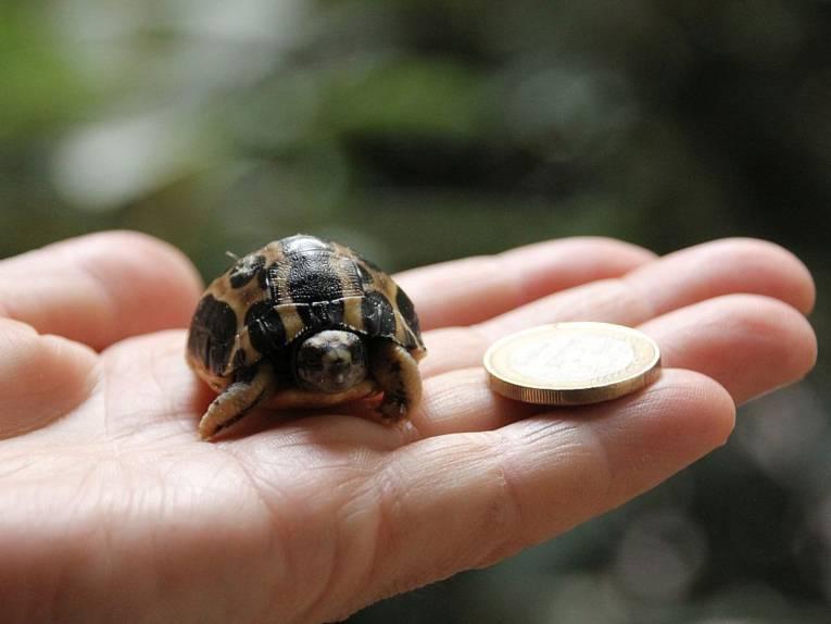Baby-Schildkröte neben einem 1-Euro-Stück auf einer Hand