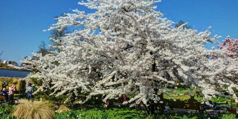 Vier Personen fotografieren einen blühenden Baum