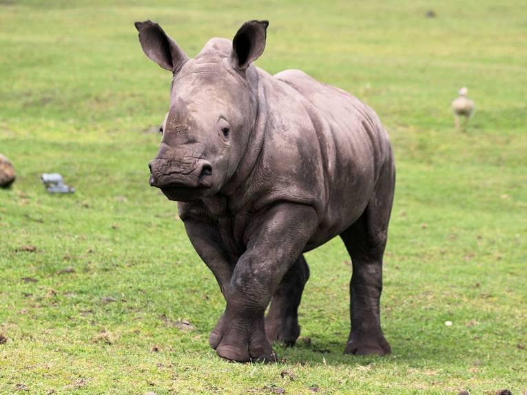 Junges Nashorn