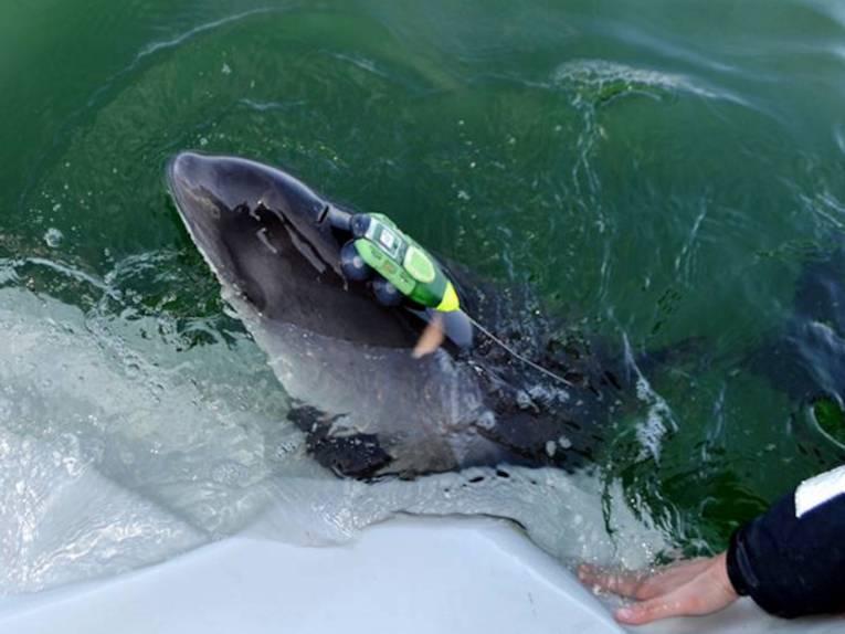 Kleiner Wal mit Gerät am Körper