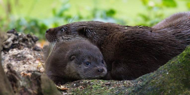 Kleiner Otter