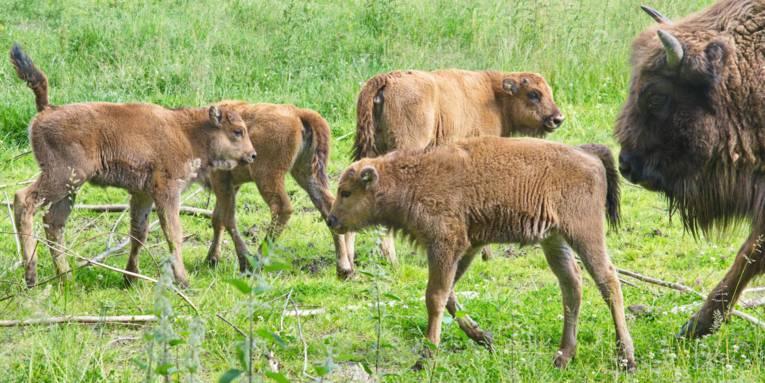 Vier Wisent-Jungtiere und ein Alt-Tier
