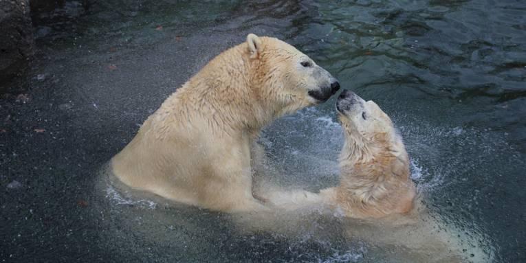 Zwei Eisbären im Wasser beschnuppern sich