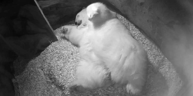 Großer, liegender Eisbär mit meerschweinchengroßem Eisbärbaby