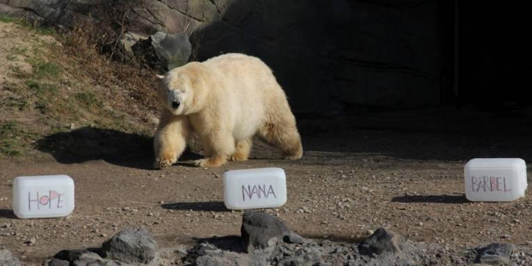Weißer Bär geht auf drei mit Namen beschriftete Kanister zu