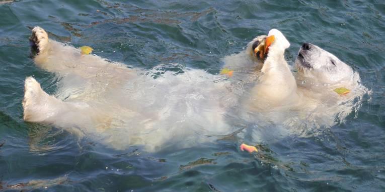 Eisbär lässt sich auf dem Rücken im Wasser treiben