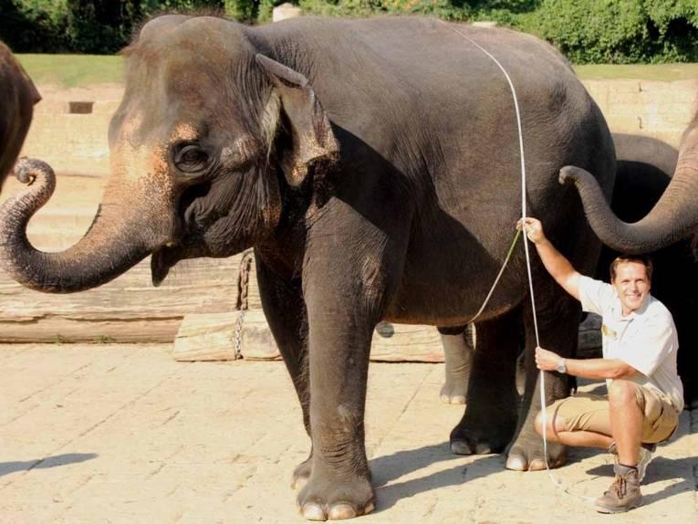 Mann misst Bauchumfang einer Elefantin
