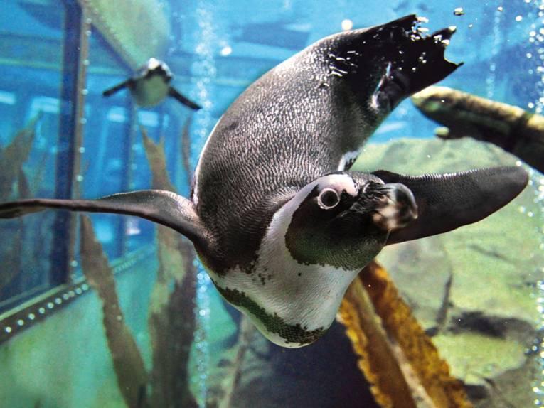 Tauchender Pinguin.