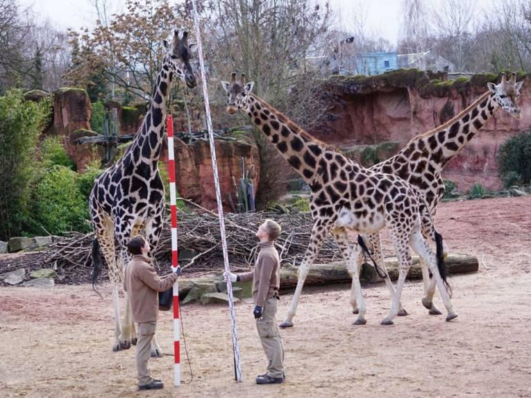 Zwei Leute mit Messlatten bei drei Giraffen