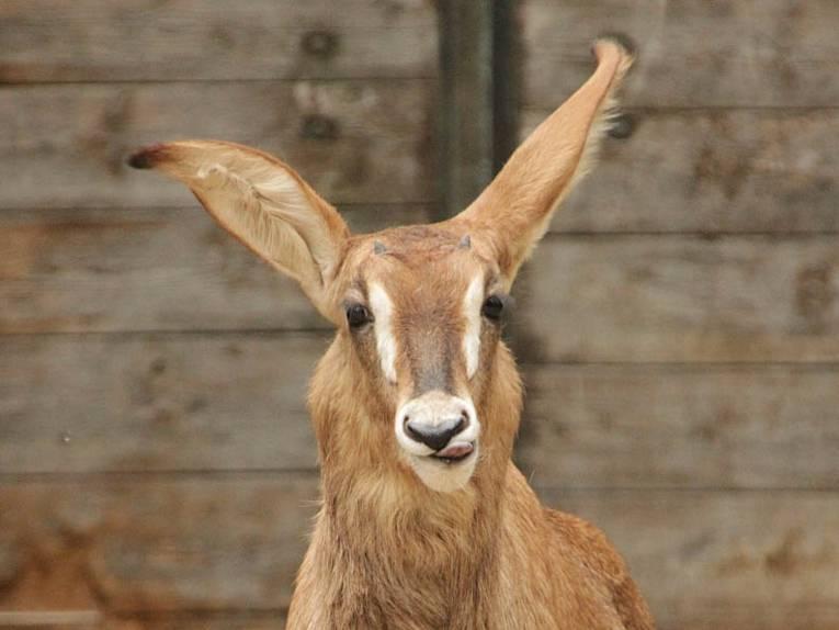 Pferdeantilope mit großen Ohren