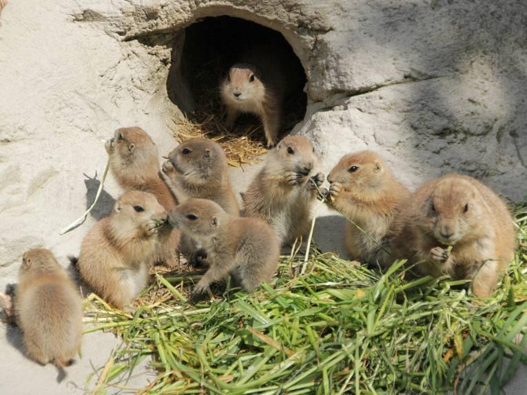 Neun Jungtiere bei den Präriehunden.