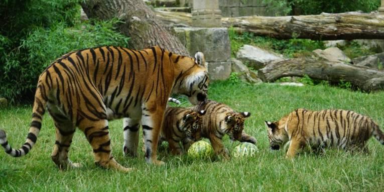 Drei kleine und ein großer Tiger schnuppern an drei im Gras liegenden Wassermelonen