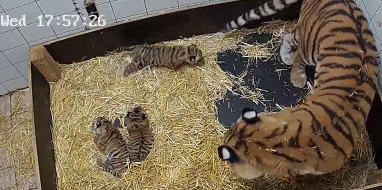 Drei kleine Tiger und ein großer Tiger in einem umgrenzten mit Heu ausgelegten Bereich