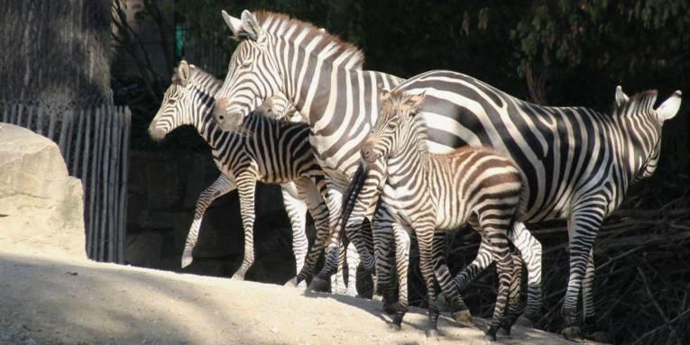 Zwei große, zwei kleine Zebras