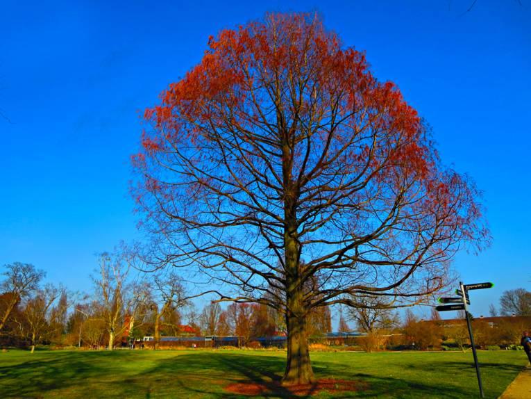 Baum mit roten Blättern.