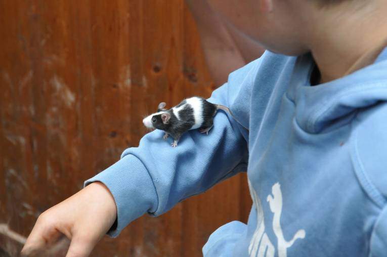 Ratte auf Kinderarm