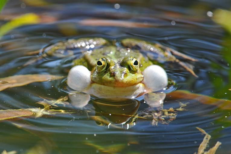 Ein Frosch in einem Teich