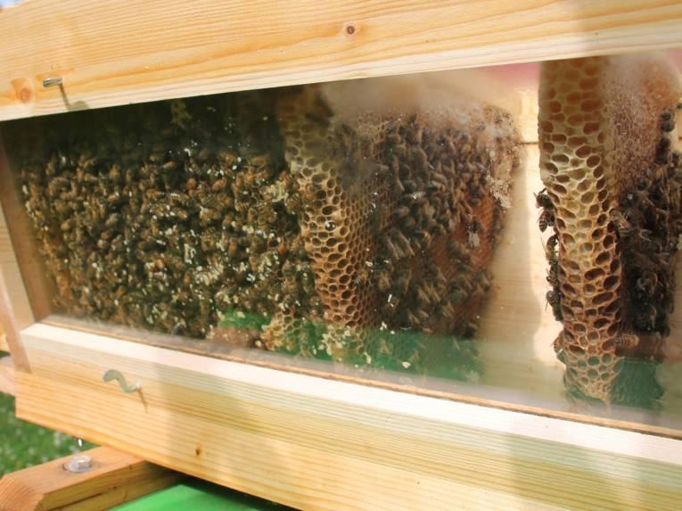 Bienen hinter eine Scheibe.