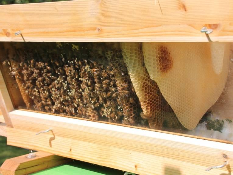 Bienen mit Wabe hinter einer Scheibe.