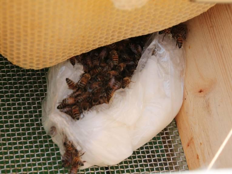Futterklumpen mit Bienen.
