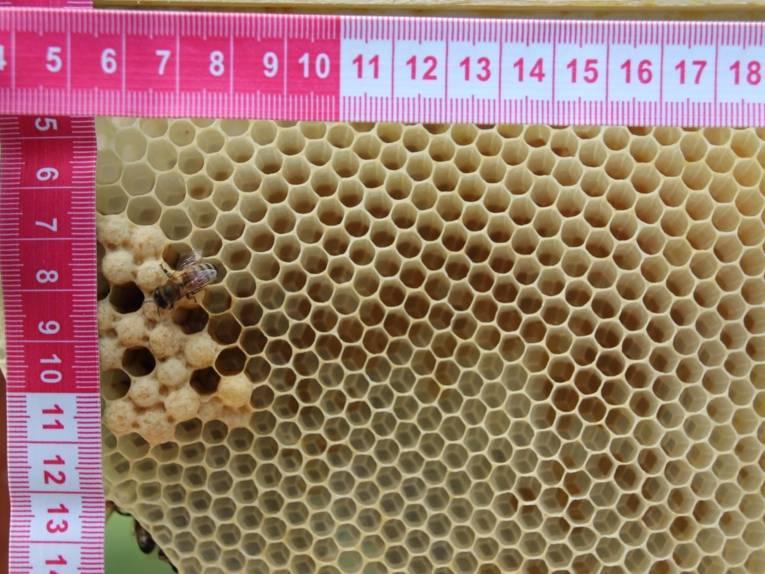 Bienenwabe mit einem Maßband.