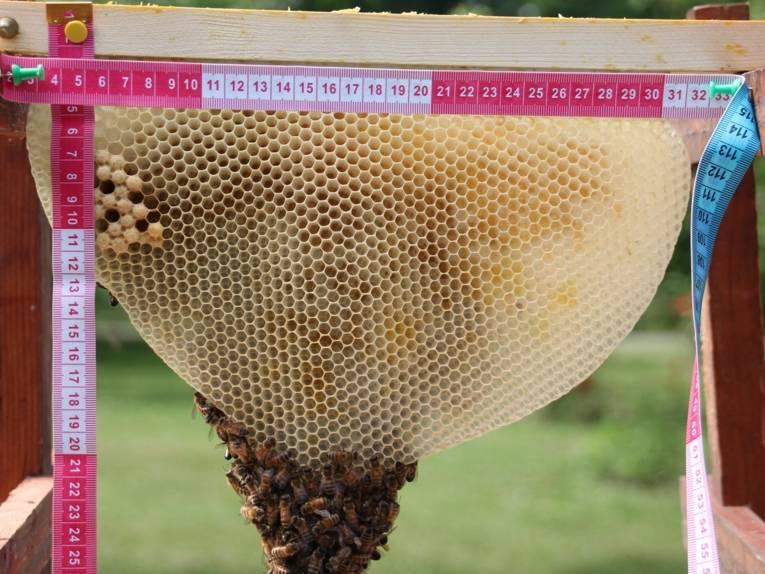 Zollstock an einer Wabe mit Bienen.