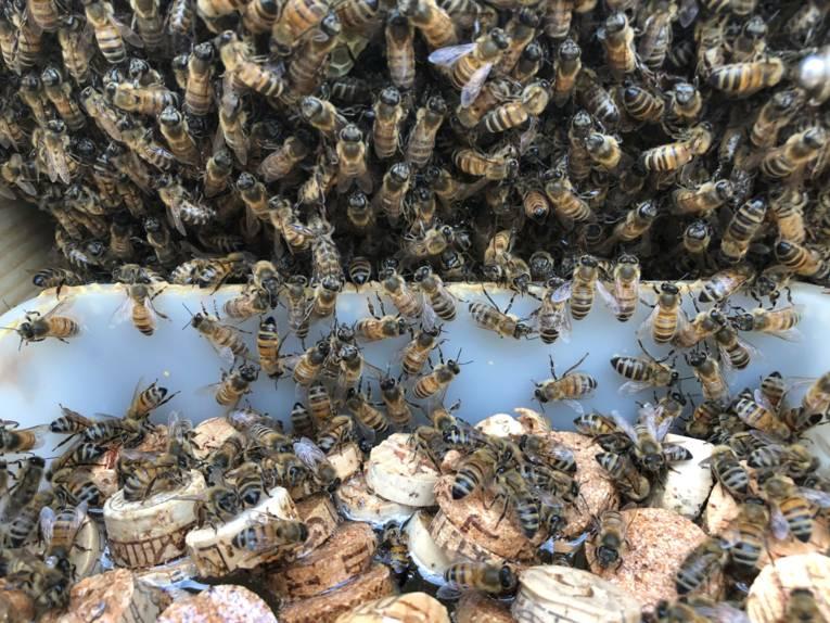 Bienen an einem Trog mit Korkteilen.