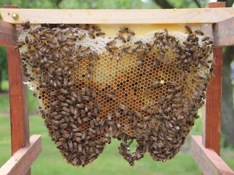 Bienen an einer Wabe.