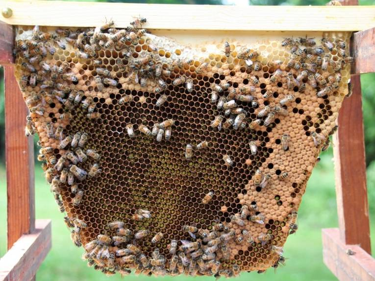 Wabe mit Bienen.