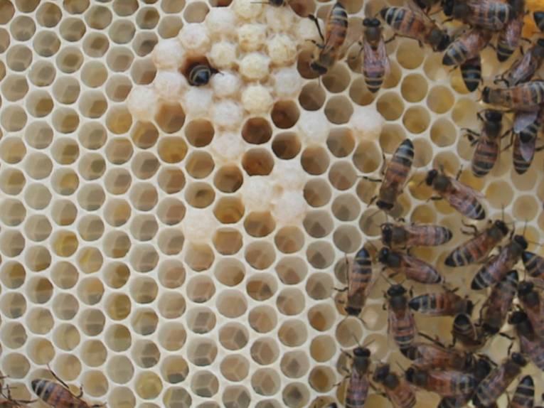 Bienen an und in einer Wabe.