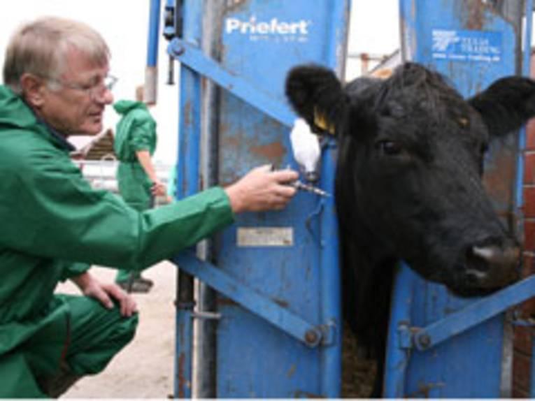 Ein Tierarzt impft ein Rind