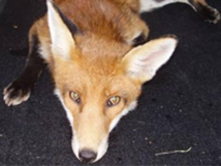 Ein Fuchs, der auf dem Boden liegt und direkt in die Kamera schaut.