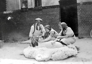 Sheep shearing in the farmyard north of the laundry in 1936