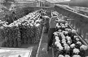 Gardener apprentices in the chrysanthemum hothouses of the school, c. 1938