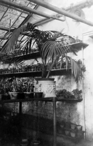 Year unknown: view of a hothouse with pot plants, in the foreground a palm tree