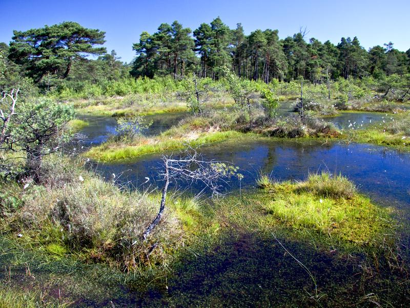 Moorgebiet mit Wasser an der Oberfläche, Wollgras uns abgestorbenen Bäumen.