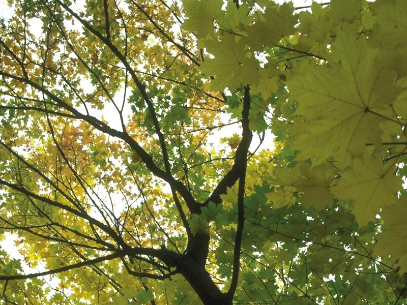 Laubbaum von unten nach oben betrachtet (Froschperspektive)